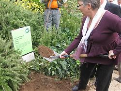 Anna Maria Quer, presidenta del Cor Sîgnum, plantant el cirerer.
